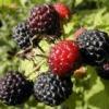 Корисні властивості рослини ожина