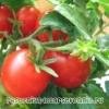 Помідори: корисні властивості та протипоказання. Рецепти приготування помідор