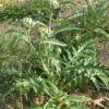 Рослина артишок посівний