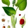 Рослина образки болотні