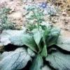 Рослина огіркова трава (фото)