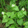 Рослина з запахом часнику часничниця лікарська