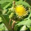 Рослина сімейства складноцвітих осот городній