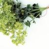 Рослини, що використовуються в косметології для продовження молодості