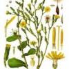 Їстівні дикорослі рослини: латук дикий