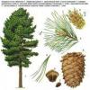 Сибірський кедр сімейства соснових