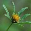 Трава череда - лікарська рослина: застосування, властивості