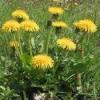 Трава, корінь кульбаби - лікувальні властивості