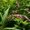 Трава водяний перець - опис, застосування, протипоказання