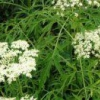 Трав'яниста бузина: лікарська рослина