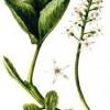 Трав'яниста рослина трилисник водяний
