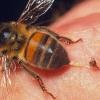 Укус бджоли: наслідки. Що робити при укусі бджоли?