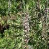 Вирощування пустирника пятилопастного