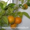 Вирощування в домашніх умовах апельсинів