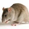 Заболевания передающиеся крысами и мышами
