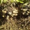 Земляний горіх - арахіс підземний